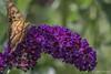 Butterfly, August 12 2012, Belleville
