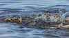 Gar Spawning, May 17, 2021, Bay of Quinte, Sony A7RIV, 100-400mm, 1.4X, 1/1250, F8.0, ISO 500