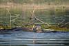 Spawning Carp, Bay of Qunite, June 2, 2021, Sony A7R4, 100-400mm, 1.4X, 1/1000, F8.0, ISO 500
