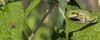 Tree Frog, Aug 10 2014, Belleville backyard, Canon 6D, 100mm Macro, 1/125,F14,ISO400