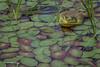 Bull Frog, Frink Cenre, June 17 2003, canon 6D-100 mm macro-1/100-F11-ISO50, #0126