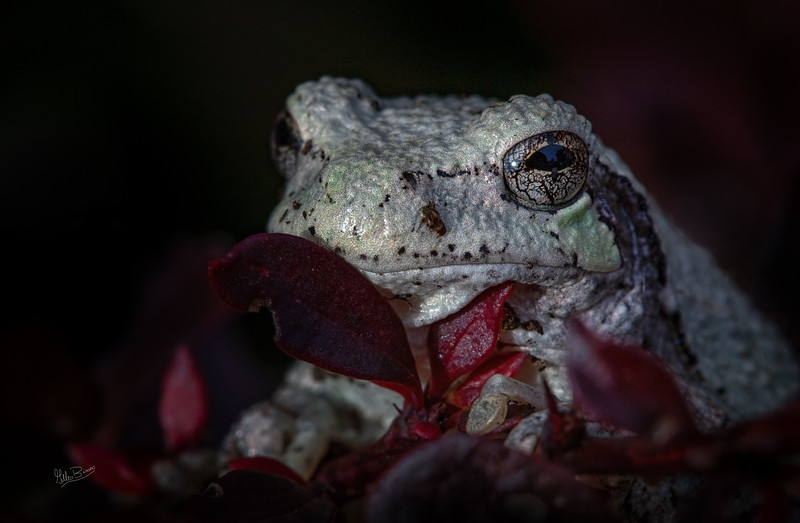Gray Tree Frog in backyard bush, Septmeber 24, 2018, Canon 6D, 100mm Macro lens, 1/160, F13, ISO 640
