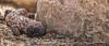 Gila Monster, #5689,Tucson, Arizona, March 25 2014, Canon 6D 400mm 1/1250 F7.1  ISO800