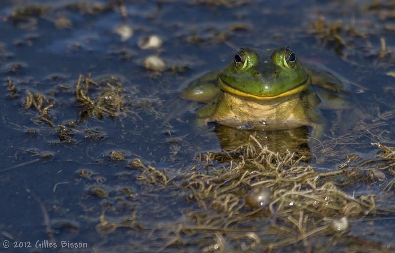 Green Frog, July 31 2012, Frink Centre