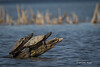 Turtles, May 02 2013, Bay of Quinte