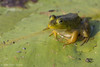 Frog, July 31 2012, Frink Centre