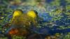 Frog, September 9, 2021, Moira River, Sony A7RIV, 100-400mm, 1.4X, 1/1250, F8.0, ISO 800