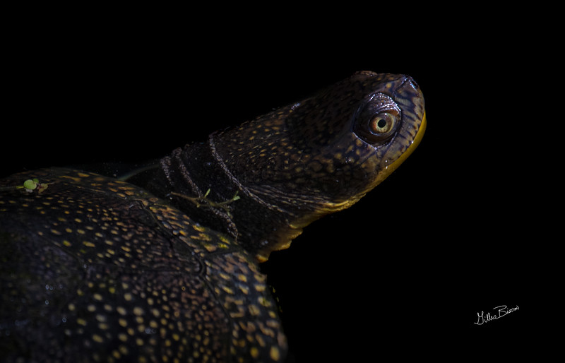 Blandings turtle, Frink Centre,  June 6, 2019, Canon 7D Mark II, 1/800, F8.0, ISO 400