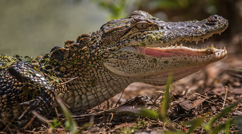 Alligator, Audubon Swamp Garden, Magnolia Plantation, South Carolina, April 12, 2017, Cann 7D Mark II, 1/1250, F7.1, ISO 500