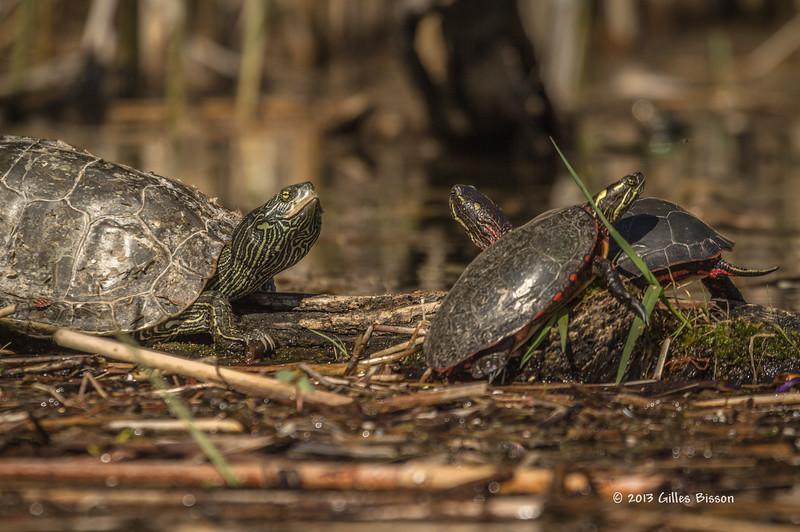 Turtles, Outlet river, Sandbanks Provincial Park, May 07 2013