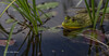Bull Frog, Frink Cenre, June 17 2003, canon 6D-100 mm macro-1/400-F4-ISO50