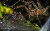 Scary looking spider,Aug 22 2013,#5366,Canon 6D-100mm Macro-extension tubes-1.3sec-F14-ISO50-tripod-LR5
