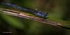Damselfly, Aug 23 2013, Presqu'ile Provincial Park, #5590, Canon 6D-100mm Macro-1/320-F13-ISO320-LR5