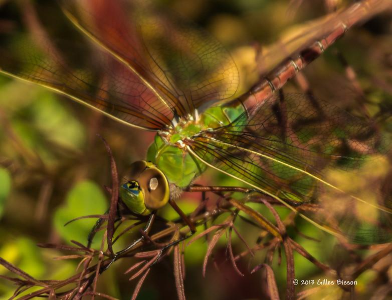 Dragon Fly, Aug 23 2013, Presqu'ile Provincial Park, Canon T3i-100-400mm-1/1000-F5.6-ISO400-LR5