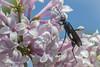 Backyard bug, June 11 2015, Canon 7D Mark II, 100mm macro, 1/800, F13,ISO 1600