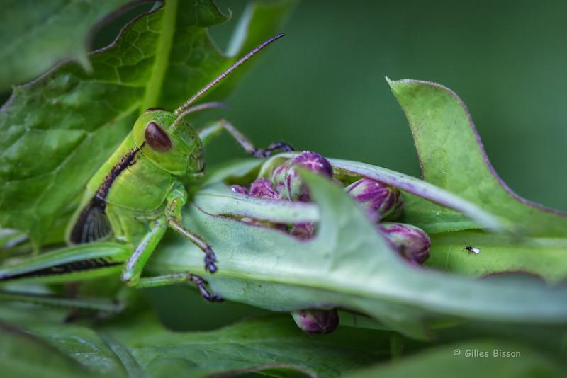 Grasshopper, July 10 2015, Rene Brunelle Provincial Park, Moonbeam Ontario, Canon 6D, 100mm Macro, 1/160, F7.1, ISO 400