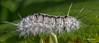 Hickory Tussock Moth Caterpillar, Sept 07 2014, Canon 6D, 100mm Macro, 1/1250,F11,ISO 800