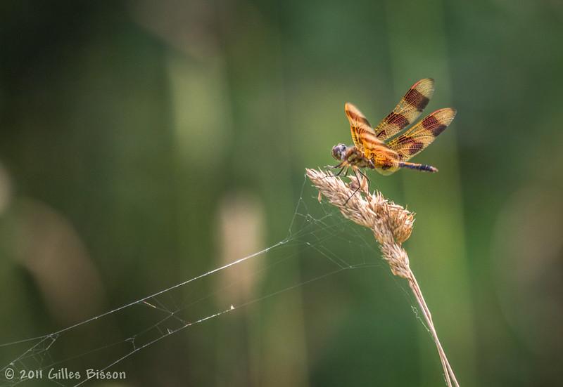Dragonfly, July 18 2011,Sandbanks Provincial Park