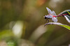 Dragonfly, Aug 17 2013, Canon 6D-100mm Macro-1/800-F6.3-ISO400-LR5