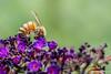 Bee,August 14 2012, Belleville