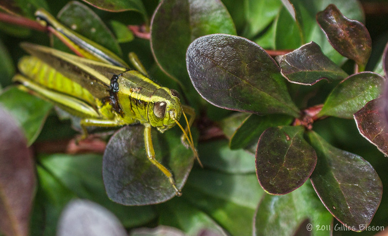 Grasshopper, August 26 2011, Belleville backyard