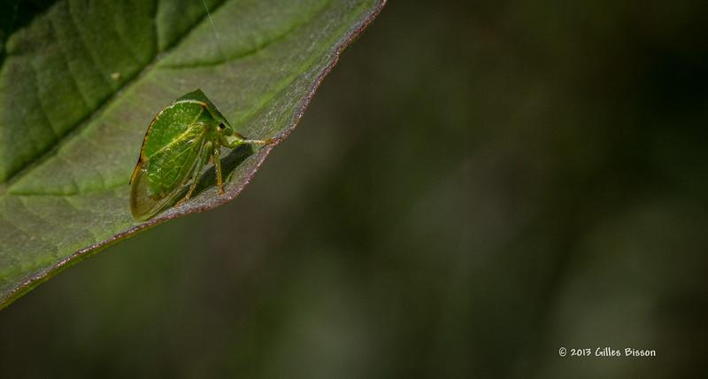 Tiny Leaf bug, Aug 23 2013, #5547-Canon 6D-100 mm Macro-1/800-F16-ISO1600-LR5
