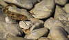 Grasshopper, Presqu'ile Provincial Park, Aug 04 2013, #4651, Canon T3i-100-400mm-1/640-F8.0-ISO100-LR5