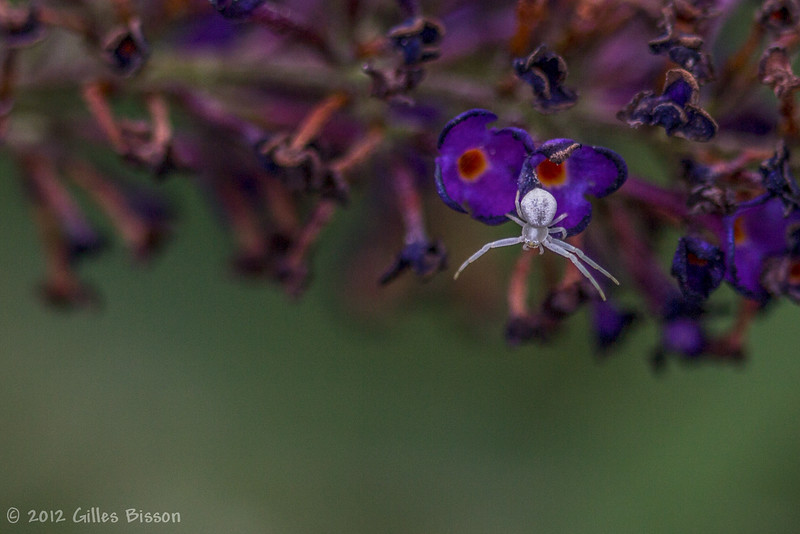 Tiny white spider, August 15 2012, Belleville