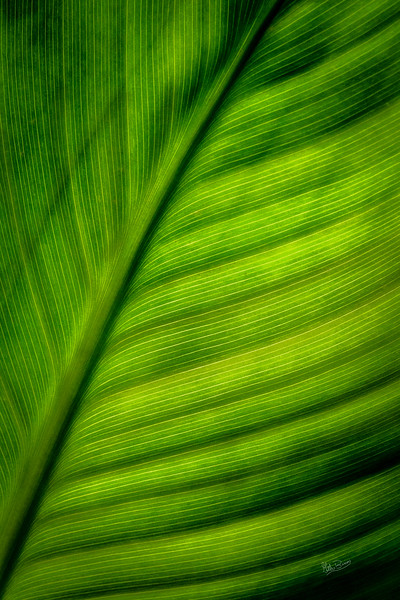 Canna Lily leaf  Septmeber 19 2018, Canon 7D Mark II,100mm Macro lens, 1/320, F18, ISO 800
