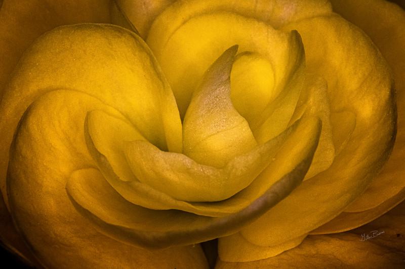 Yellow flower, backyard garden, June 18, 2019, Canon 7D Mark II, 100mm Macro, 1/60, F20, ISO 640
