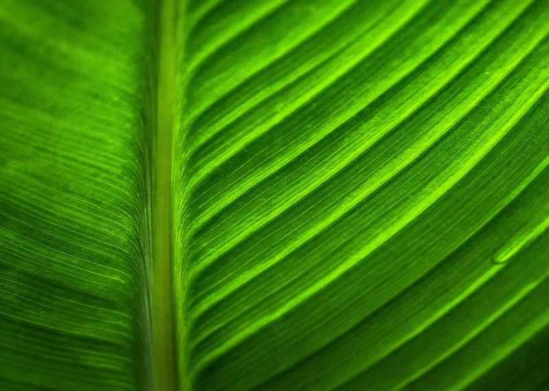 Canna Lily leaf  Septmeber 19 2018, Canon 7D Mark II,100mm Macro lens, 1/250, F8, ISO 800
