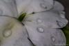 White Flower, June 12 2012, Belleville