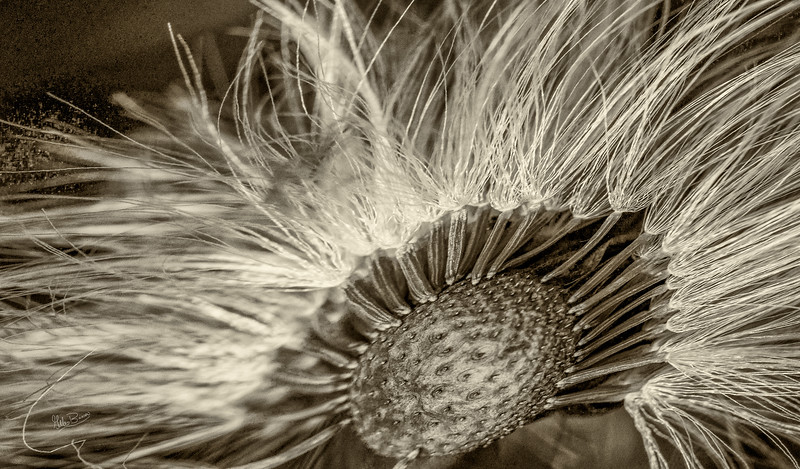 Coltsfoot seed head, Beaver Meadows conservation area, May 11, 2017, Canon 6D, 100mm macro lens, 1/320, F8.0, ISO 400