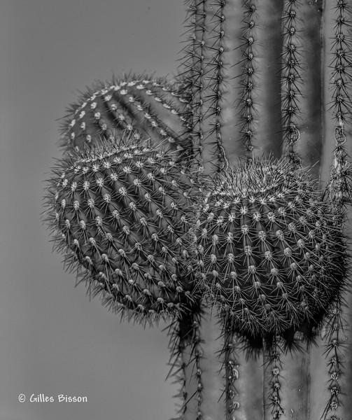Giant Saguaro Cactus, Saguaro National Park, Tucson, Arizona, March 22 2014, Canon 6D 1/1250 F7.1 ISO160