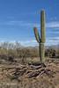 Giant Saguaro Cactus, Saguaro National Park, Tucson, Arizona, March 22 2014, Canon 6D 1/125 F8 ISO100