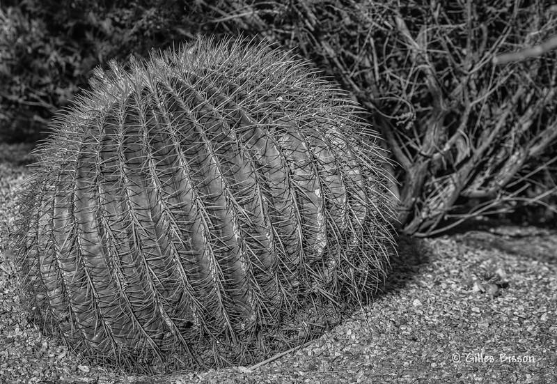 Cactus,March 20 2014, Tucson, Arizona, #4145, Canon 6D,100-400mm, 1/800 F11 ISO200