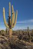 Giant Saguaro Cactus, Saguaro National Park, Tucson, Arizona, March 22 2014, Canon 6D 1/125 F9.0 ISO160