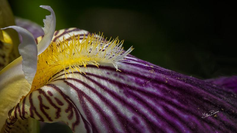 Flower from Quinte Botanical Gardens, June 09, 2019, Canon 7D Mark II, 100mm macro, 1/500, F13, ISO 500