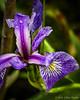 Blue Iris, June 02 2012, Frink Centre