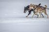 Marmora Sled Dog Races, January 31,2015, Marmora, Canon 7D mark2, 100-400 mm, 1/1000,F8.0,ISO 400