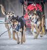 Marmora Sled Dog Races, January 31,2015, Marmora, Canon 7D mark2, 100-400 mm, 1/1250,F8.0,ISO 640
