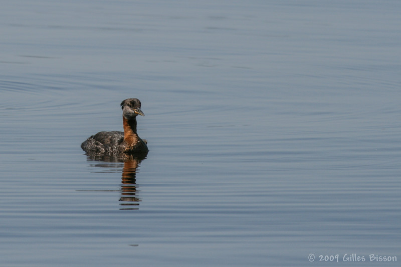 Red-necked Grebe, August 21 2009, Remi Lake