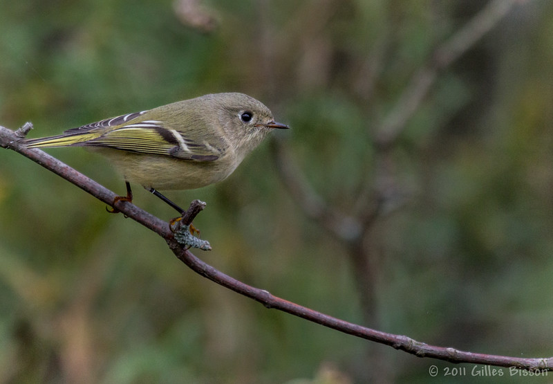 Ruby-crowned Kinglet, October 23, 2011, Prince Edward Point