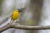 Yellow Warbler, May 10 2012, Presqu'ile Provincial Park