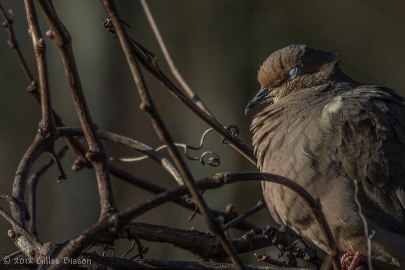 Mourning Dove, April 6 2012, Belleville