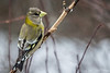Evening Grosbeak, March 10 2012,  Algonquin Park