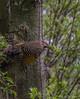 Northern Flicker, May 09 2012, Belleville Waterfront Trail