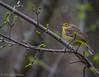 Yellow Palm Warbler, May 10 2012, Presqu'ile Provincial Park
