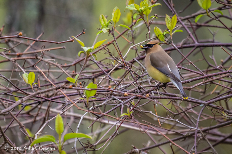 Cedar Waxwing, May 04 2012, Prince Edward Point, #2853, Canon T3i-1/640-F5.6-ISO400
