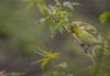 American Goldfinch, May 10 2012, Presqu'ile Provincial Park